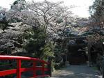 4月7日 朝の桜