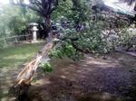 風で倒れた八重桜