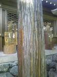 拝殿前の杉の木