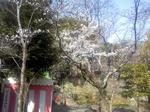 授与所裏の桜