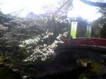 太鼓橋の桜