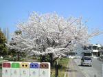 桜を歌う歌はなぜこうも多いのか