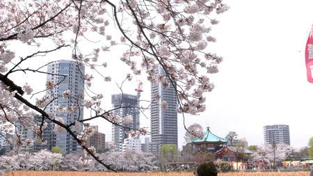 不忍池あたりからの桜
