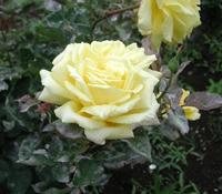 roseofyokohama.jpg