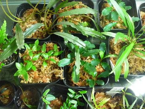 テラリウム用植物2