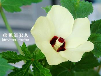 オクラの花。