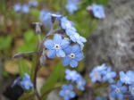 白樺湖の花