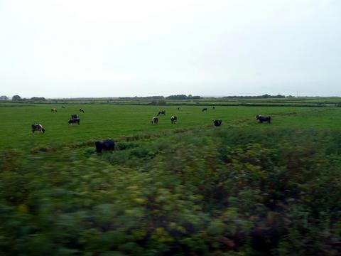 宗谷本線から望むサロベツ原野の牛