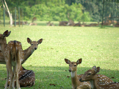 ボゴールの鹿