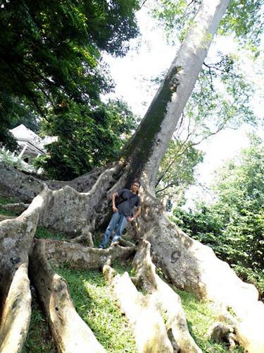 すごい板根の木