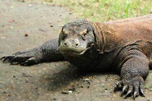 スラバヤ動物園 コモドドラゴン