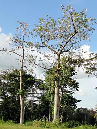 カポックの木
