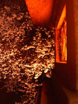 よるもえる桜