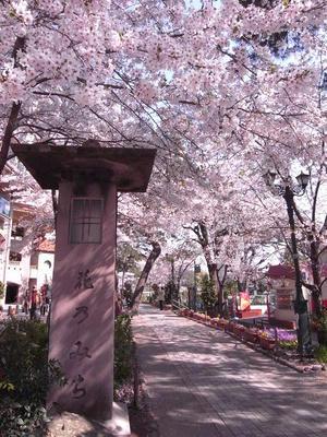 花のみちの桜