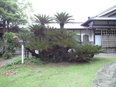 感応寺 ソテツ