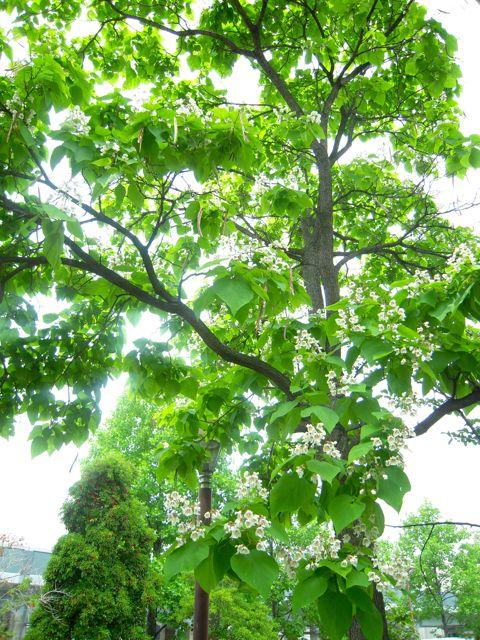 ティートリーのブログ キササゲとタイサンボクの白い花