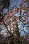 出石城の近くの桜