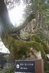 出石城の大木の根っこ
