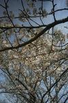 桜(播磨中央公園)