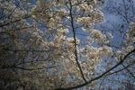 桜2(播磨中央公園)