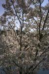 桜3(播磨中央公園)