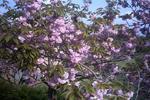 八重桜(ピンク)