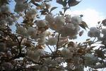八重桜(白)