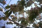 八重桜(黄色)