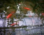 フルーツフラワーパークの鯉