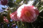ピンクと白の椿