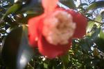 赤とクリーム色の椿