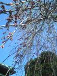 3月24日シダレ桜のツボミ