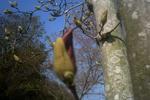 3月25日の木蓮のツボミ