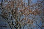 3月25日の桜のツボミ