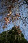 3月25日のシダレ桜のツボミ