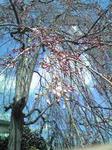 3月26日の開花寸前のシダレ桜