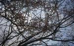 3月27日の桜 1分咲き