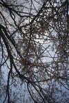 3月27日のシダレ桜