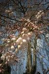 3月27日のシダレ桜のアップ
