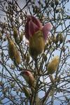 3月27日の木蓮のツボミ開花