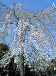 3月28日のシダレ桜
