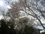 3月29日の桜