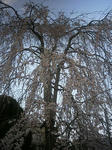 3月29日のシダレ桜
