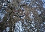 3月29日のシダレ桜のアップ