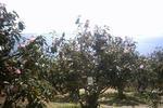 万葉岬の椿園