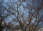 万葉岬の桜の木