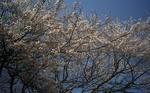 4月1日の桜