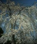 4月1日のシダレ桜