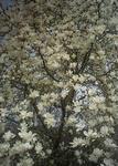 播磨中央公園の白木蓮
