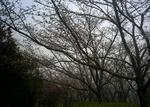 播磨中央公園の桜の園